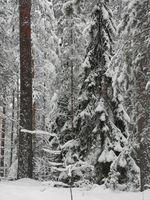 SnowForest2