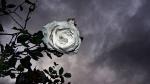 Courtship rose
