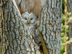 Ancient woods lithuania owl